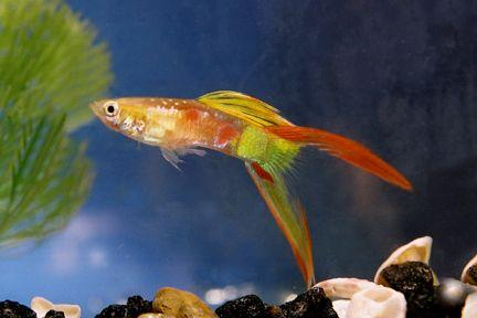 سمكة الجوبي